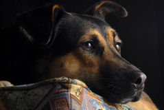 German Shepard. Portrait of a German Shepard Royalty Free Stock Images