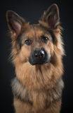 German shepard portrait. At a black background Stock Photo