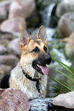German Shepard Portrait Stock Images