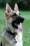 German Shepard Portrait Royalty Free Stock Image