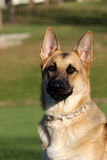 German Shepard portrait mouth closed Royalty Free Stock Photo