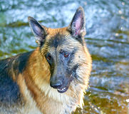 German Shepard. Posing in the water Stock Image
