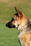 German Shepard profile portrait in the sun Royalty Free Stock Images