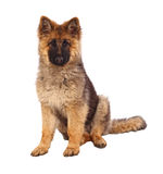 German shepard puppy. Dog portrait on white background Royalty Free Stock Photos