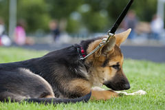 German shepard puppy. A German Shepard puppy laying in the grass with the choke chain and leash leading up the the upper right corner Royalty Free Stock Images