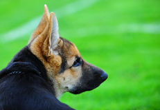 German shepard puppy. A German Shepard puppy laying on the edge of a grass sports field as he watches the game Stock Images