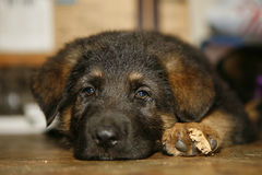 German shepard puppy. A closeup of a German Shepard puppy, lying down and resting with one paw next to its face Royalty Free Stock Photos