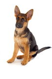 German shepard puppy. A view of a cute, cuddly little golden and black German Shepard puppy isolated on a white background Royalty Free Stock Images