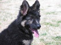 German Shepard Puppy Stock Photo