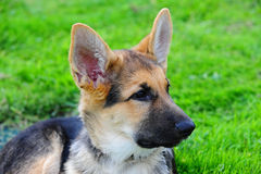 German shepard puppy laying in grass. A German Shepard puppy looks off camera to the right as he enjoys laying in the grass Stock Image
