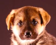 German Shepherd puppy. Portrait of German Shepherd puppy Stock Image