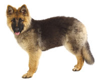 German shepard puppy on white Stock Photo