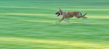 German Shepard running Stock Photos