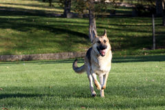 German Shepard running with his ball horizontal Stock Photography