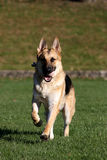German Shepard running with his ball vertical Royalty Free Stock Photography