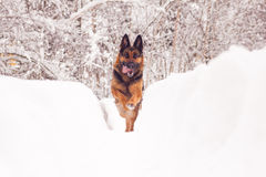 German Shepard Stock Photos