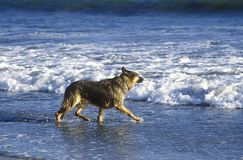 German Shepard running in surf, Northern CA Royalty Free Stock Photos