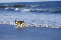 German Shepard running in surf, Northern CA Royalty Free Stock Images