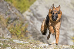 German shepard while running to you Royalty Free Stock Photo