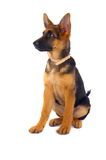 German Shepard sitting. A young 3 months old German Shepard dog sitting on a white background. The puppy has perked up ears, a collar and is looking towards its Stock Photo