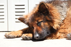 German shepard sleeping Stock Photos