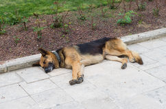 German shepard. Sleeping german shepard on a sidewalk Stock Photo