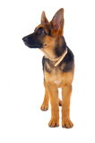 German Shepard standing Stock Photos