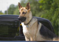 German shepard taking a ride in the truck Stock Photo