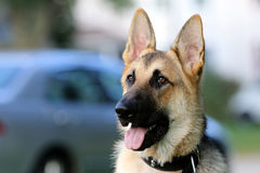German Shepard waiting for a command Royalty Free Stock Images