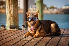 German shepard wearing goggles Royalty Free Stock Image