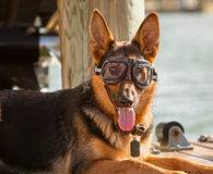 German shepard wearing goggles Royalty Free Stock Photography
