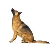 German shepard on white. German shepard dog portrait on white background Stock Photography