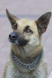 German sheperd dog Stock Photography