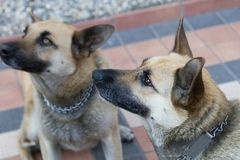 German sheperd dog Royalty Free Stock Photos