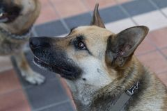 German sheperd dog Royalty Free Stock Photography