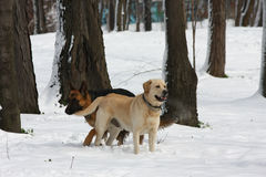 German Sheperd and Labrador Retreiver Stock Photo