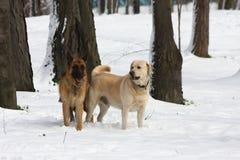 German Sheperd and Labrador Retreiver Stock Photos