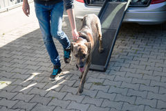 German sheperd mix , Dog exercise to get into the car with the car ramp royalty free stock photography