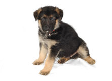 German Sheperd Puppy. A picture of a German Sheperd Puppy Royalty Free Stock Photography