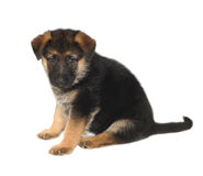 German Sheperd Puppy Royalty Free Stock Photos