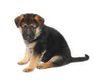 German Sheperd Puppy Stock Photography