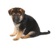 German Sheperd Puppy Stock Photography