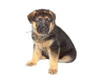 German Sheperd Puppy Royalty Free Stock Images