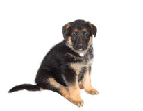 German Sheperd Puppy Royalty Free Stock Photo