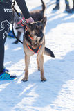 German sheperd in snow. OLDENZAAL, NETHERLANDS - JANUARY 22, 2017: Leashed german sheperd ready for the launch of a canicross contest Royalty Free Stock Photo