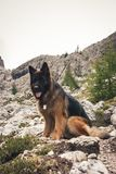 Picture of a German sheperd dog on the trails of Cortina D`Ampez. German sheperd on the trails of Cortina D`Ampezzo, Dolomites, Italy Stock Photography