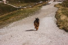 Picture of a German sheperd dog on the trails of Cortina D`Ampez. German sheperd on the trails of Cortina D`Ampezzo, Dolomites, Italy Royalty Free Stock Photos