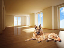 German sheperd on wood floor Royalty Free Stock Image