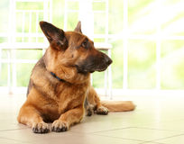 German shephard dog laying. German shepherd dog looking aside and laying on the floor in home with sunny window in the background Royalty Free Stock Photos