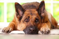 German shephard dog laying. German shepherd dog looking aside and laying on the floor in home waiting for her owner, with sunny window in the background Royalty Free Stock Images